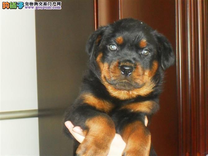 上海CKU认证犬舍出售高品质罗威纳一分价钱一分货
