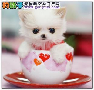 出售纯种日系袖珍犬 茶杯体口袋犬 超可爱袖珍宝宝出售