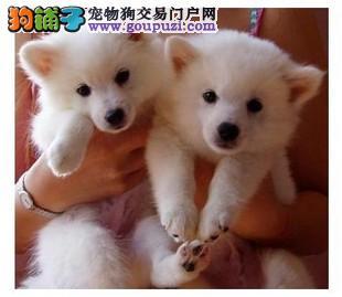 漳州出售颜色齐全身体健康银狐犬狗贩子请绕行