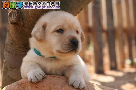 沈阳大型犬舍出售赛级拉布拉多犬 买的放心 养得开心