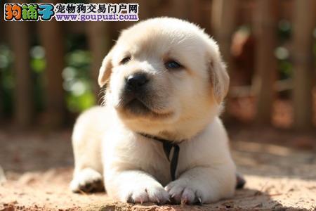 重庆出售拉布拉多幼犬品质好有保障血统证书芯片齐全