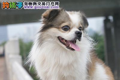 京巴犬/宠物狗狗出售/大眼睛白色毛/京巴幼犬限时秒杀