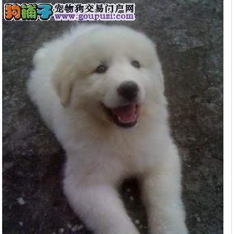 大型雪橇犬大白熊犬出售 高大威武 是您的贴身护卫犬