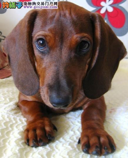 广州南大专业繁殖出售腊肠犬 可签订协议