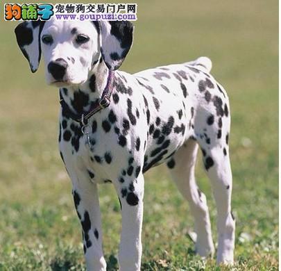 出售斑点狗宝宝、CKU认证保健康、签订正规合同