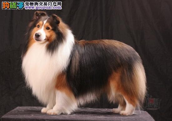 福州宠物狗 出售2个多月的漂亮的苏格兰牧羊犬