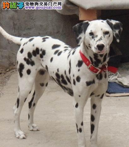养殖基地出售纯血统斑点狗宝宝