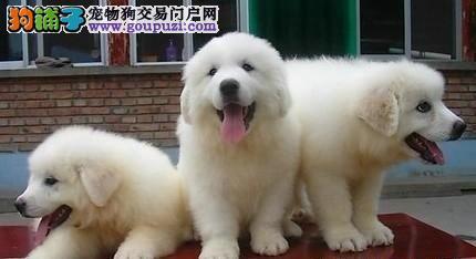 专业基地繁殖狗场直销超可爱保健康大白熊宝宝