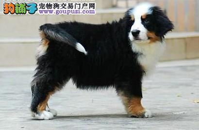 赛级品相伯恩山幼犬低价出售支持全国空运发货