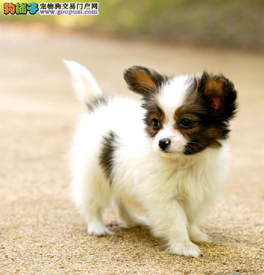 养殖场出售2-4个月纯种蝴蝶犬 保纯保健康