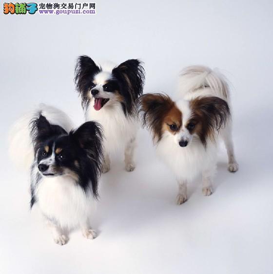正规狗场出售 蝴蝶犬,保证血统和健康 欢迎来电可送