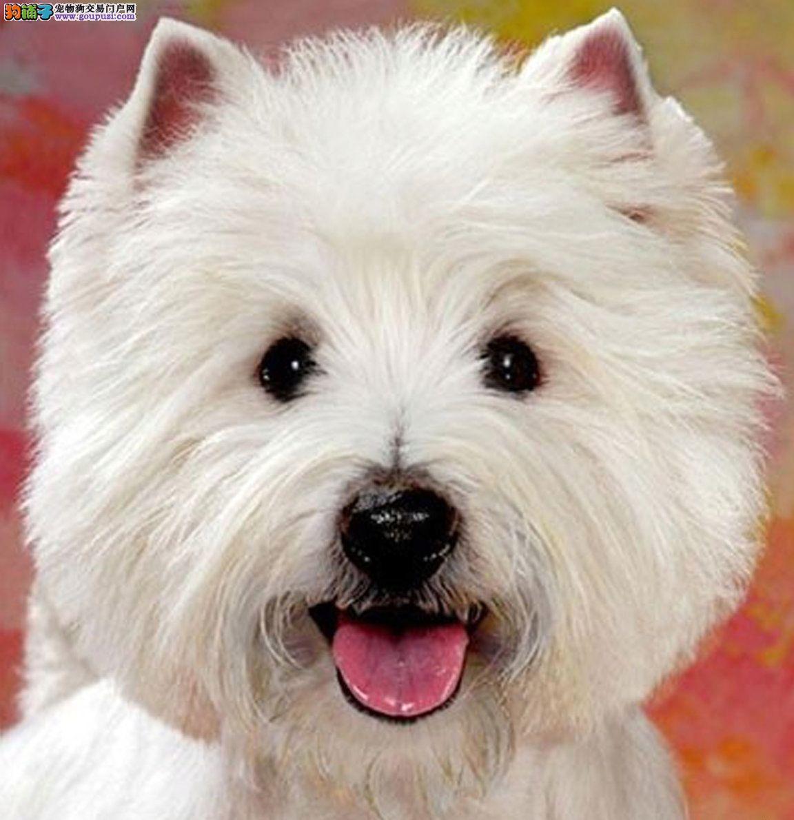 出售纯种西高地犬幼犬 保证健康 可以签协议