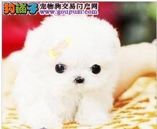 南京出售茶杯犬 茶杯袖珍幼犬 茶杯长不大的袖珍宝宝