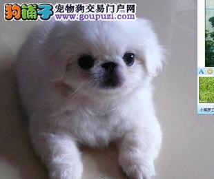 长沙纯种京巴犬多少钱一只 是纯种健康的吗