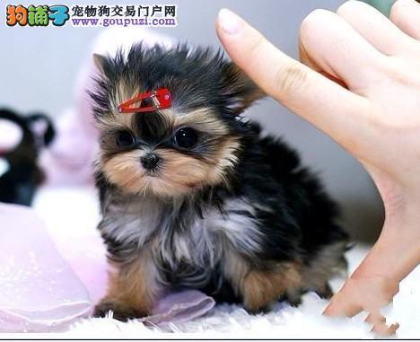 家养多只上海约克夏宝宝出售中保终身送用品