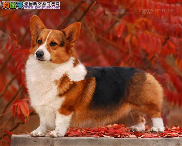 上海最大犬舍出售多种颜色柯基爱狗人士优先