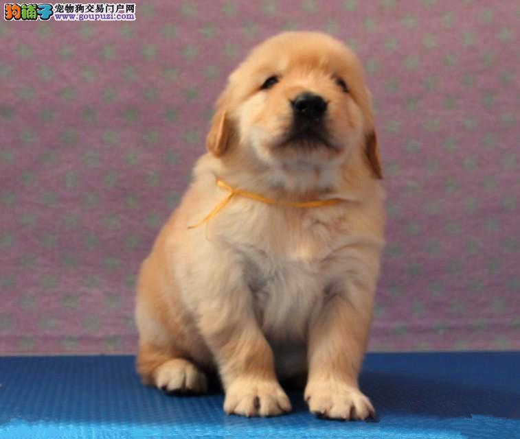 欧尚犬业直销纯种美系血统金毛。