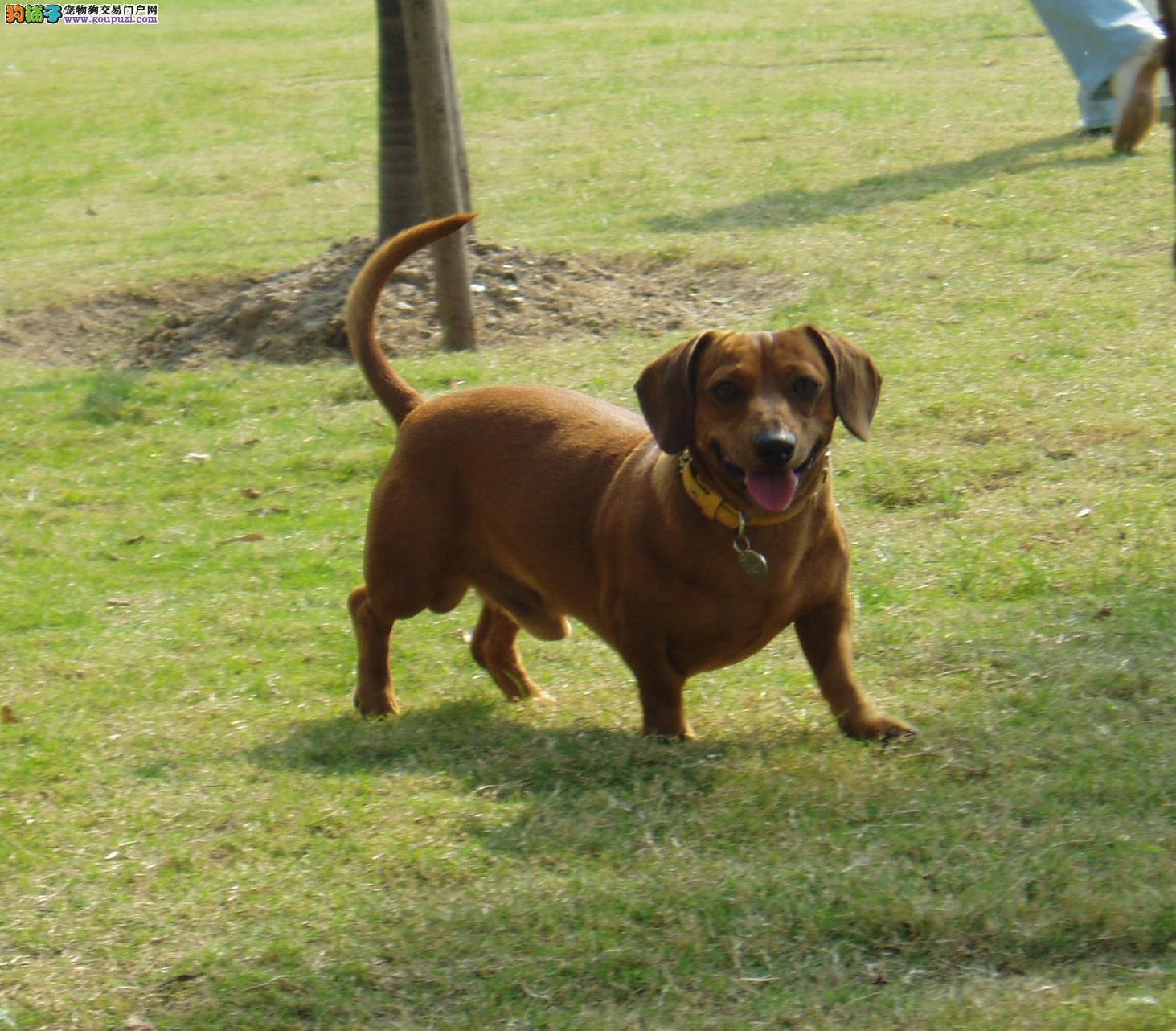 出售赛级腊肠犬,金牌店铺品质保障,购买保障售后