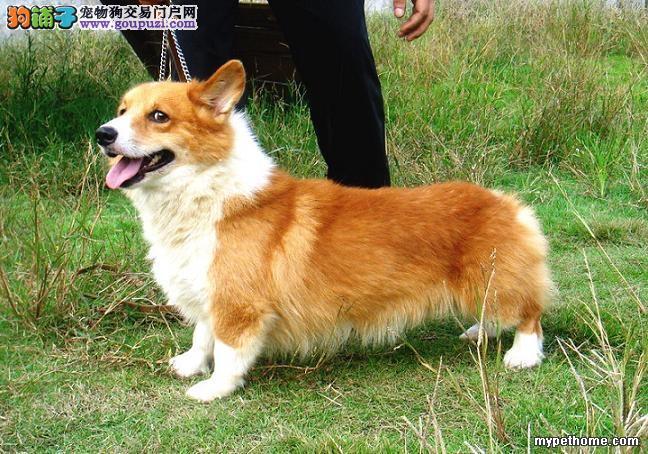 出售多种颜色纯种柯基幼犬周边免费送货