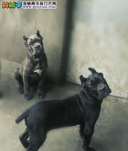 纯种卡斯罗犬加纳利犬出售