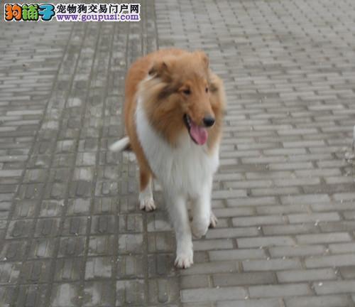 大型专业培育苏牧幼犬包健康诚信经营良心售后