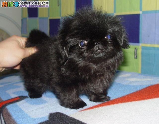 自家繁殖 宫廷京巴幼犬 绝对精品 保健康