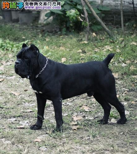 顶级护卫犬卡斯罗幼犬待售 双血统品质更优秀