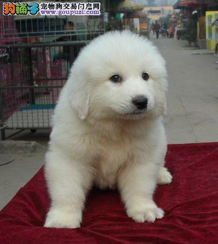 专业繁殖纯种大白熊幼犬 品相一流