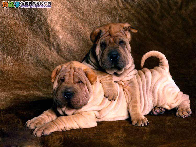 自家繁殖沙皮狗出售公母都有欢迎爱狗人士上门选购