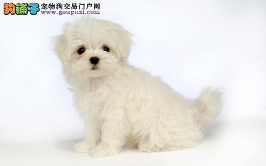 热销多只优秀的纯种马尔济斯幼犬办理血统证书