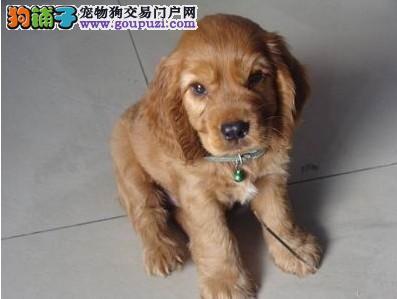 杭州出售家养可卡幼犬 公母都有 包纯种健康