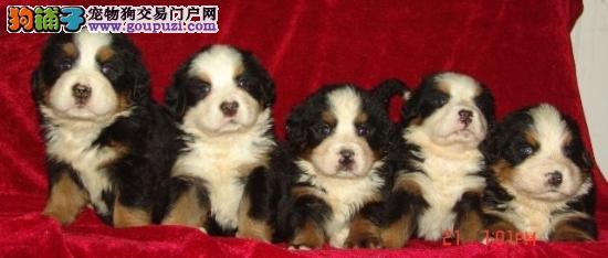 顶级伯恩山宝宝 专业繁殖宝宝健康 购犬可签协议