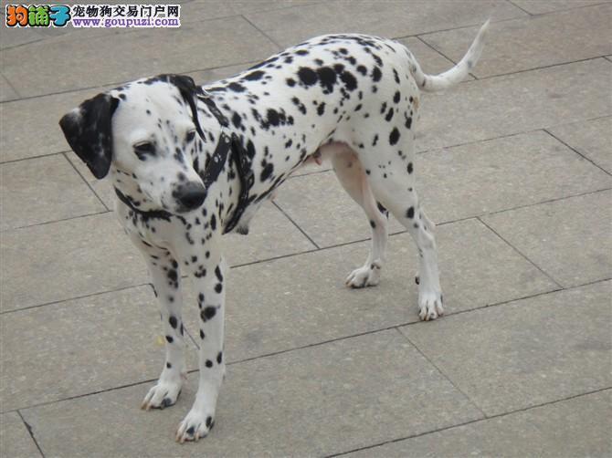斑点狗海口最大的正规犬舍完美售后同城免费送货上门