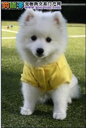 温州什么地方出售银狐犬/温州银狐犬价格/温州银狐图片