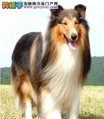 纯种牧羊犬繁殖基地 出售纯种三色雕色苏格兰牧羊犬