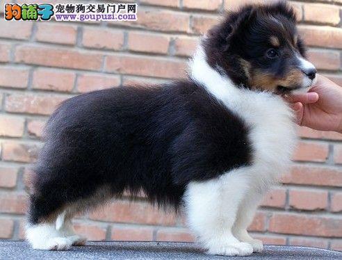 广州出售苏格兰牧羊犬品相完美品质保证赛级血统健康