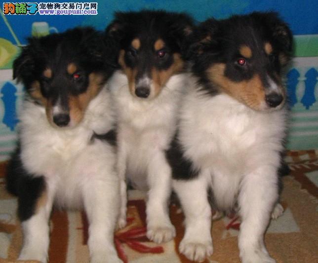 苏格兰牧羊犬宝宝出售 保纯保质保健康 假一罚十