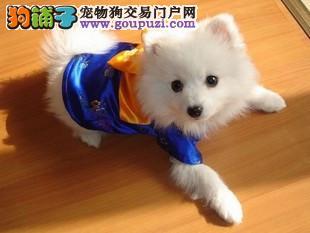 精品日本银狐宝宝出售_可送货上门_包质量健康