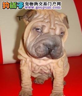 天津自家养殖纯种沙皮狗低价出售全国送货上门