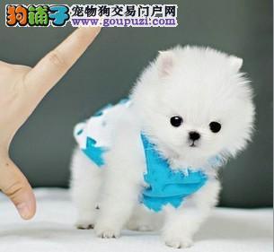 杭州哪里有卖袖珍 纯种袖珍杭州哪里买杭州茶杯犬价格