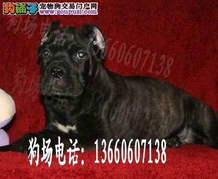 广东大型养狗基地 宠物狗