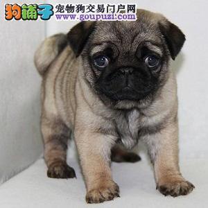 狗场出售纯种巴哥幼犬保健康保品质.欢迎实地挑选