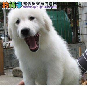 武汉自家狗场繁殖直销大白熊幼犬诚信经营三包终身协议