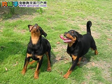 罗威纳幼犬出售中、假一赔十价位最低、微信咨询看狗