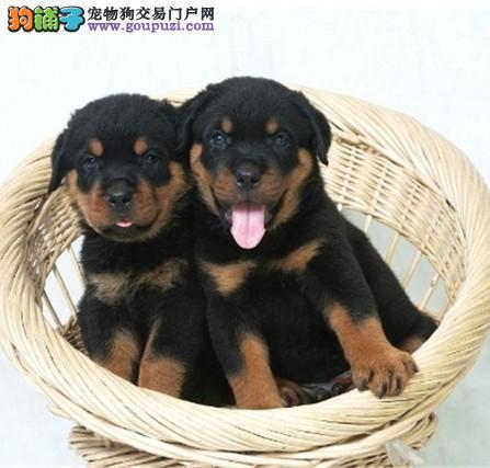 重庆大型犬舍低价热卖极品罗威纳包售后包退换