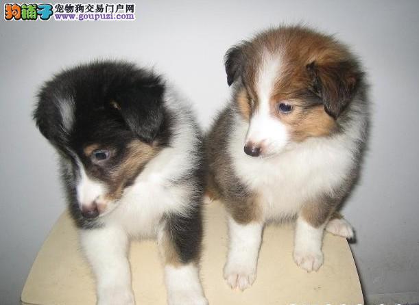 长春知名犬舍出售多只赛级苏牧多种血统供选购
