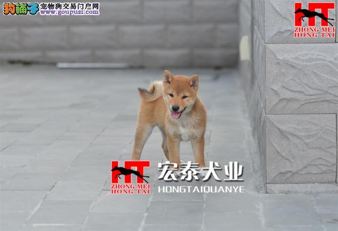 北京中美宏泰犬业出售柴犬 FCI认证质量保障。