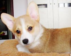 郑州出售柯基幼犬品质好有保障优质服务终身售后