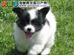 cku认证纯种可爱的蝴蝶犬低价出售啦