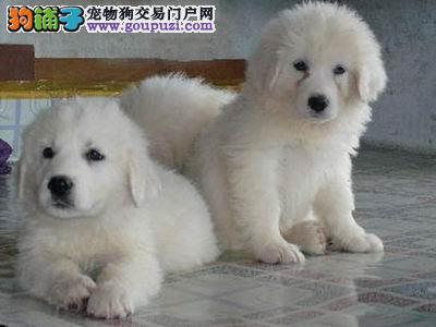 纯种大白熊幼犬公母疫苗齐健康血统质保签订协议高品质